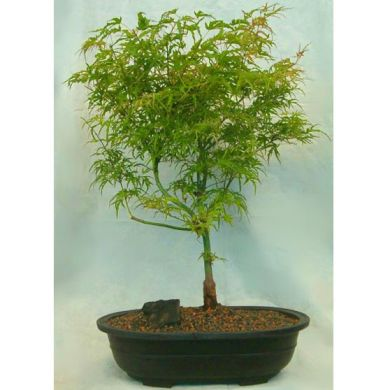 bamboo leaf japanese maple bonsai. Bonsai #39;Kamagata#39; Japanese