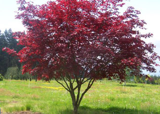 Image result for japanese maple tree