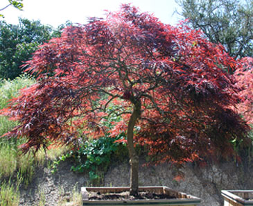 Japanese Maple Red Dragon Japanese Maple Tree